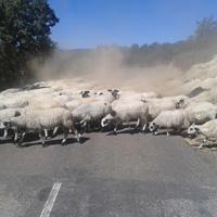 Sheep crossing in Molinaseca
