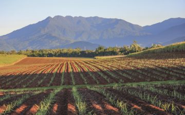 Sugar Cane plantation in Cairns, Australia