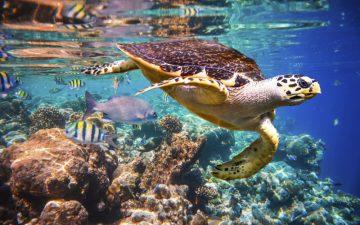 Turtle Swimming in the Maldives