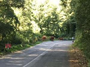 Cows-in-the-road