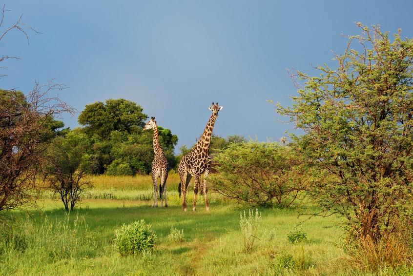 Pair of giraffes in the Okavango Delta, Botswana Africa