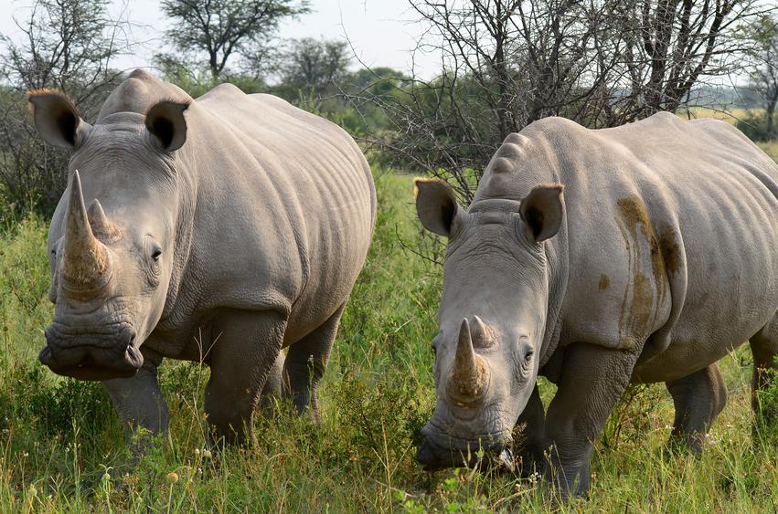 rhino in Khama Rhino sanctuary,Botswana, Africa
