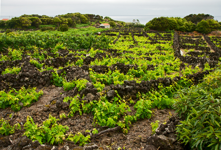 vineyard at Azores