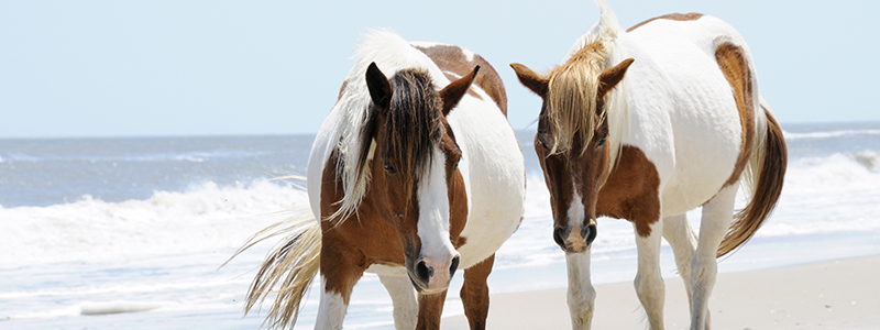Two Horses on Beach at Assateague Island Maryland