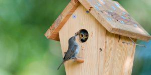 2-House-wren-feeds-bug-to-babies-in-birdhouse