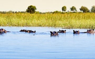 Group of hipps in the water in Botswana