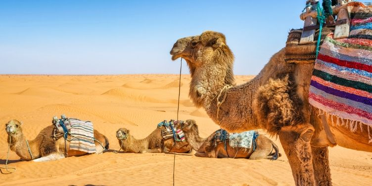 camels in the sahara desert of ksar ghilane