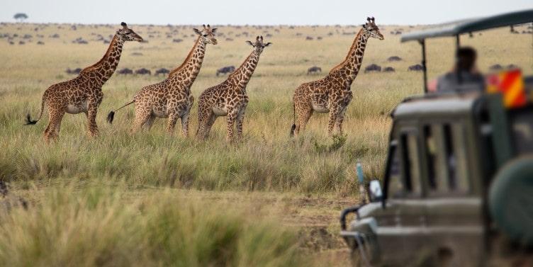Herd of giraffes in Savannah
