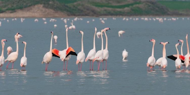 Flamingos in Salt Lake of Larnaca Cyprus