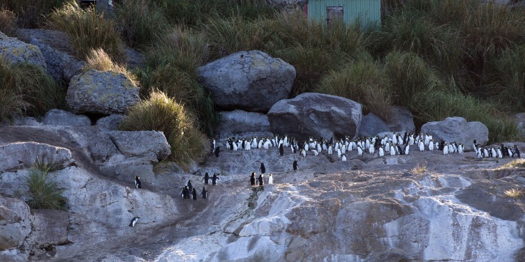 an image of rockhopper penguins on Inaccessible Island, part of a World Heritage Site