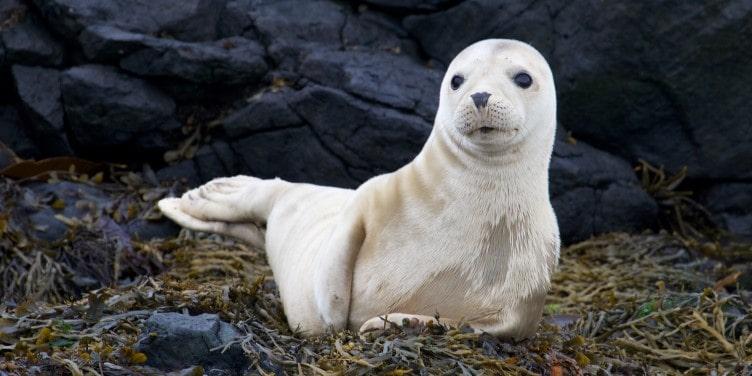Grey seal pup on Rathlin Island