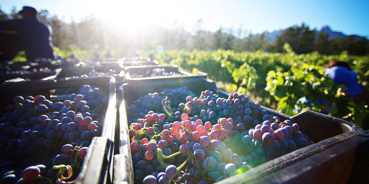 Harvested grapes in storage