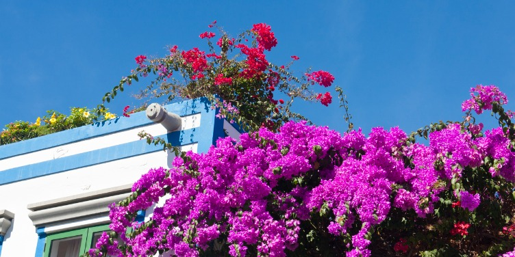 Purple bougainvillea overhangs white painted houses in Gran Canaria
