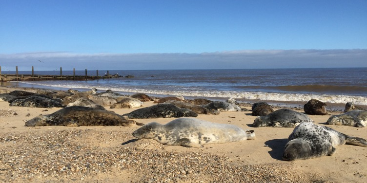 Seals resting on the beach at Horsey Gap, Norfolk