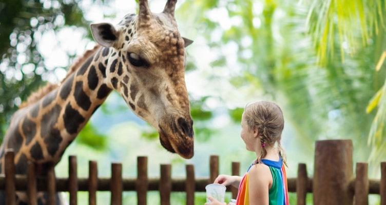 Children feeding giraffe in a zoo